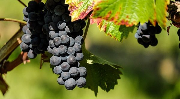 Dieta ricca di uva allontana rischio malattia di Alzheimer