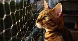 gatto bengala